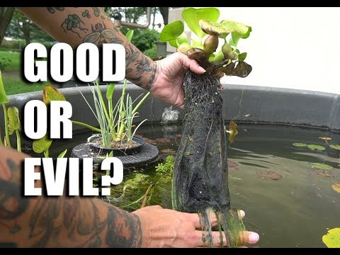 FASTEST growing pond plant- Water hyacinth