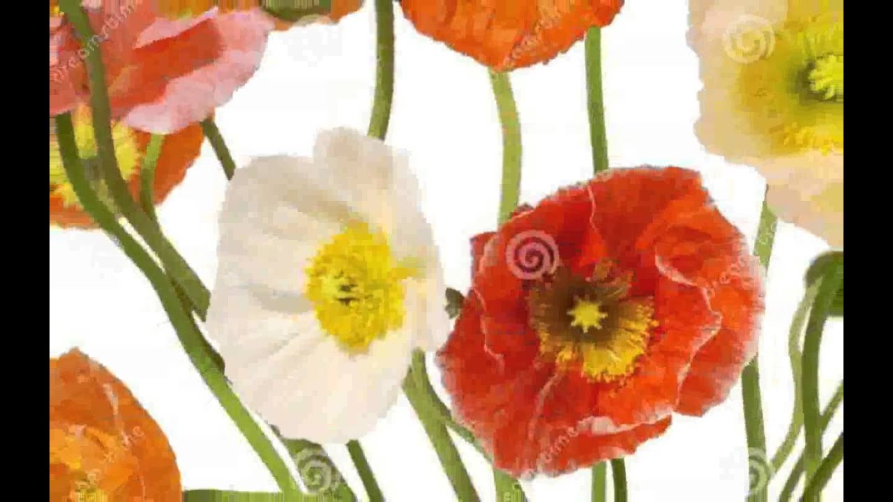 Poppies Flowers Pictures Youtube