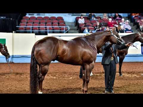 2017 AQHA Aged Stallions