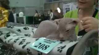 Кошка породы Украинский левкой: обзор, цена, отзывы