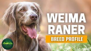 Weimaraner Dogs 101  A Noble, Elegant Gundog from Germany