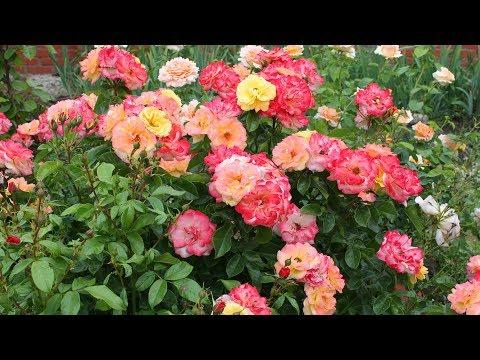 УДОБРЕНИЯ ДЛЯ РОЗ ЛЕТОМ. Чем подкормить розы для обильного цветения