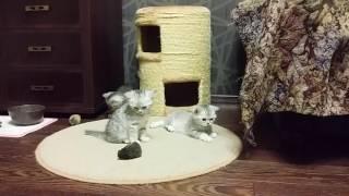 Британские котята http://gala-cat.ru