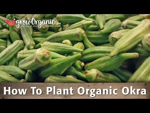 How to Plant and Grow Organic Okra