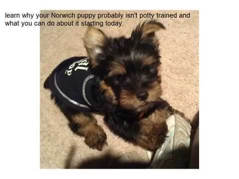 How To Potty Train Norwich Terriers ASAP!!!