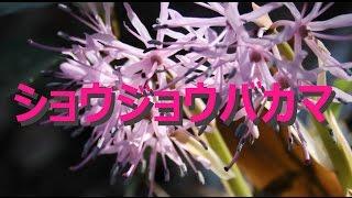 【富山散策】 春の野草 「ショウジョウバカマ」