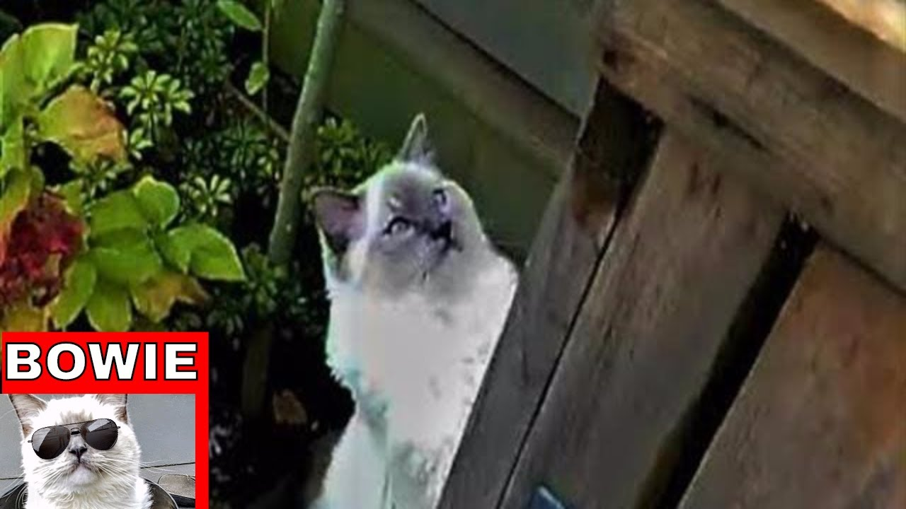 How to Keep your Ragdoll Cat from Escaping your Backyard. - How To Keep Your Ragdoll Cat From Escaping Your Backyard. - YouTube