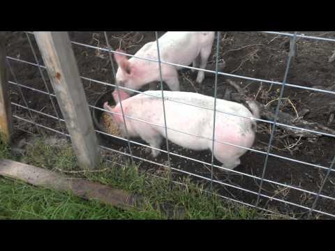 How to build a hog pen