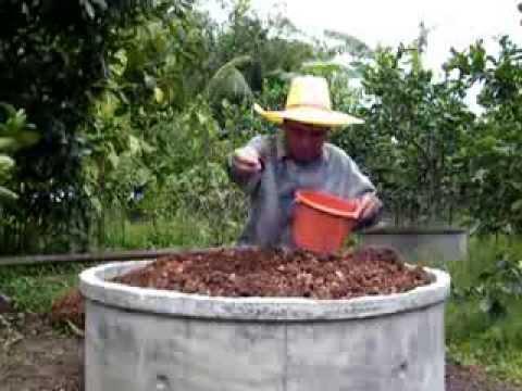 การปลูกมะนาวในวงบ่อ โดยสวนเกษตรสามวา