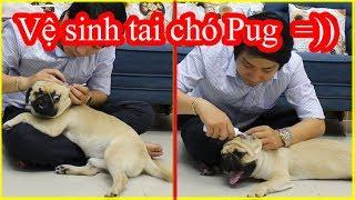 Hướng dẫn vệ sinh tai cho chó Pug đúng cách - Tránh bệnh thối tai giữa gây điếc tai - Pugk vlog