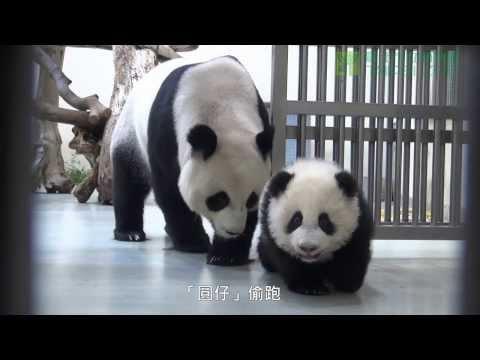 圓仔學媽媽 Giant Panda Cub Yuan Zai Learning From Her Mother Yuan Yuan