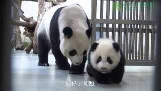 圓仔學媽媽 Giant Panda Cub Yuan Zai Learning From Her Mother Yuan Yuan
