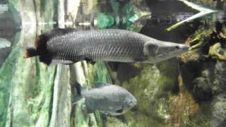 big tropical fish for aquarium, Arapaima gigas