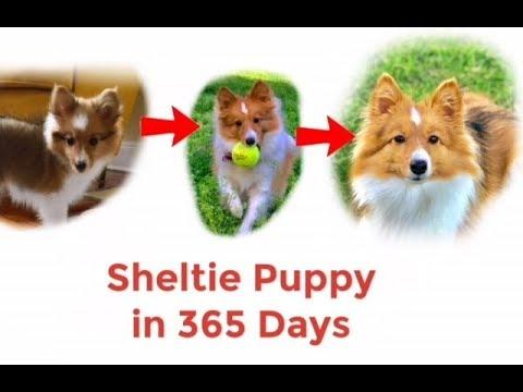 Puppy Sheltie (Shetland Sheep dog) 365 days