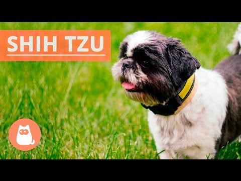 Tudo Sobre O Shih Tzu