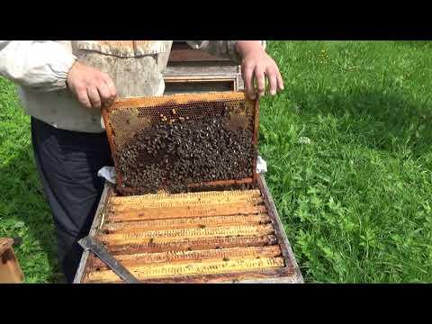 Сколько мёда в гнезде у пчёл? Собираем яблоки.