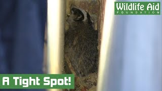 Badger in a Tight Spot - Animal Rescue