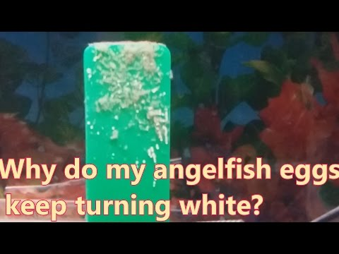 Why Do My Angelfish Eggs Keep Turning White?