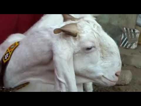 Gulabi goat farming bakra for sale in karachi   Nigeria LEISURE LV
