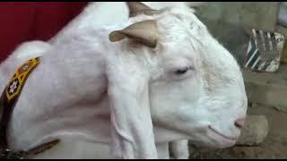 Goat For Sale In Karachi - Youtube Downloader Free - M4ufree com