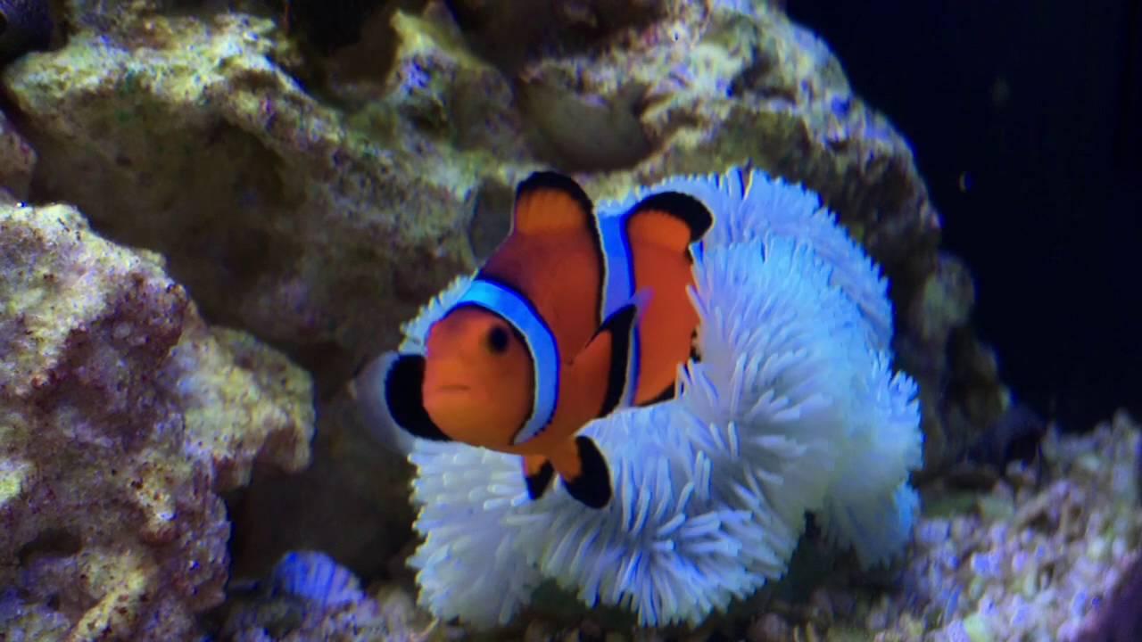 Ananomie Videos biocube 14: anemone & feeding! (week 13)