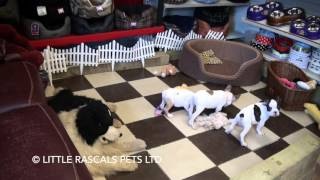 Little Rascals Uk Breeders New Litter Of 3/4 French Bulldog X Pug Pups - Puppies For Sale 2016