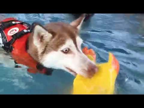 Siberian Husky Aston, Blind Cocker Spaniel, Border Collie Daimler, Mixed breed dog swim in pool