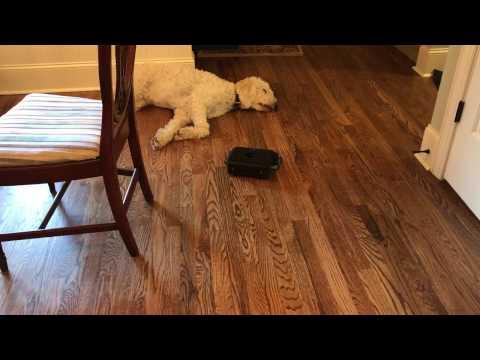 Roomba Mop VS Sleeping Dog