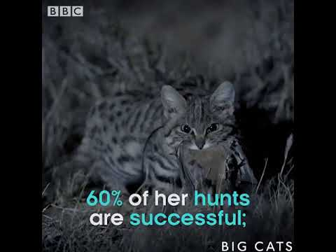 This Is The World S Deadliest Cat Bbc Big Cats Youtube