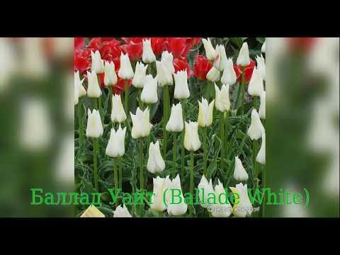 Tulip Ballade White (Тюльпан Баллад Уайт)