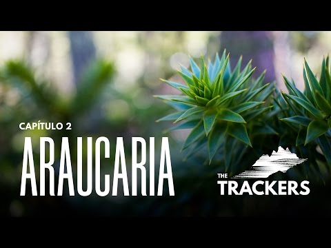 Araucaria - The Trackers