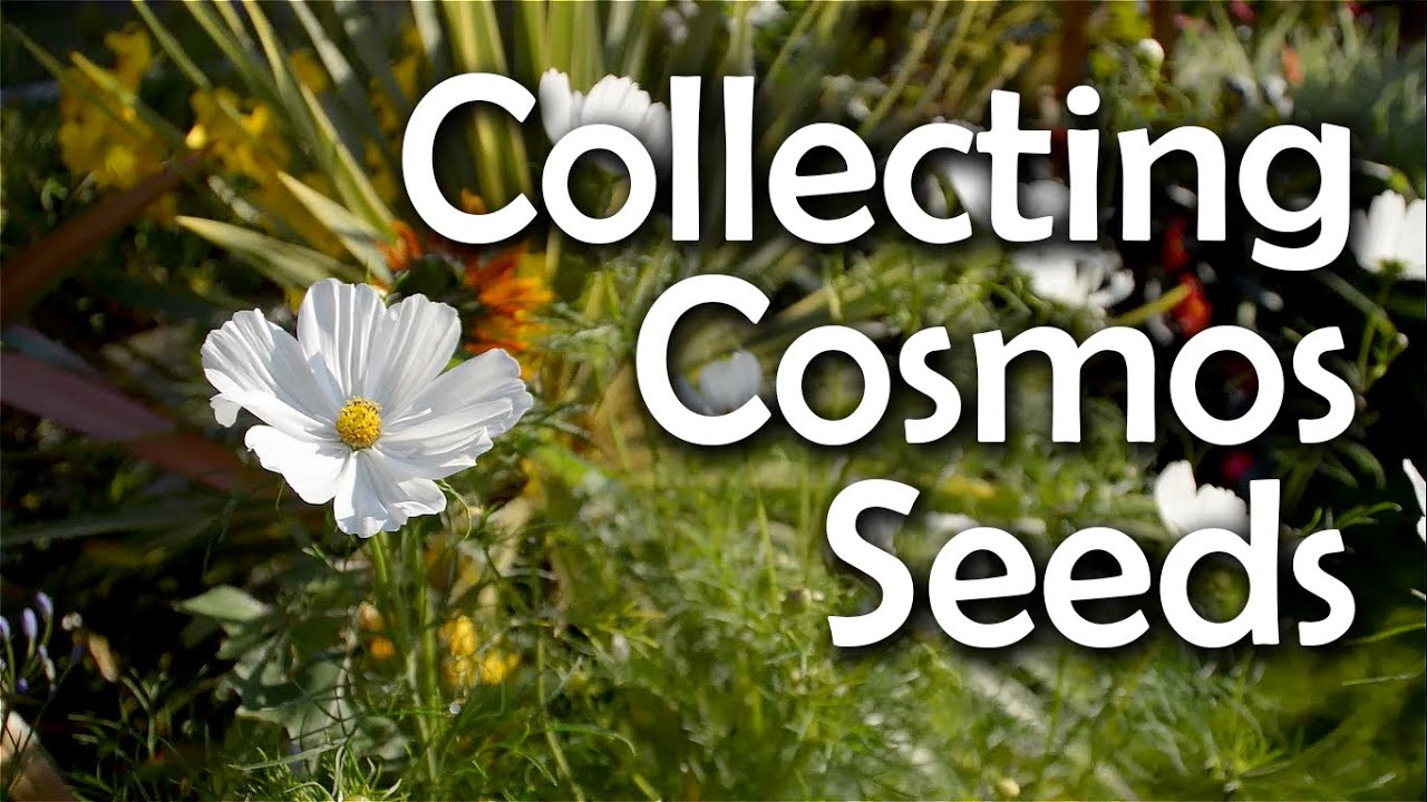 Will Cosmos Flower Next Year Collecting Cosmos Seeds - How & When To Harvest - Youtube