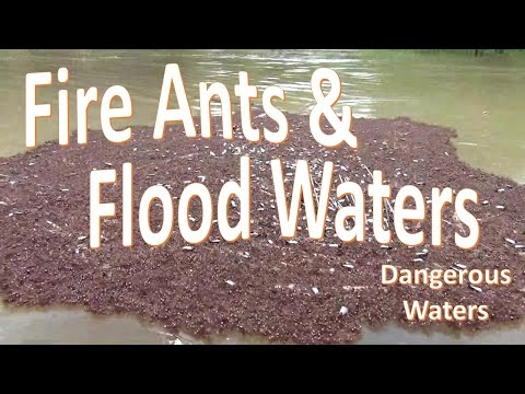 Fire Ants in Flood Waters -Warning Water Hazard-