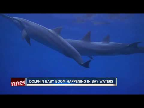 Scientists see rise in baby dolphins in Tampa Bay area