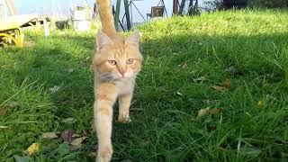 Рыжик пыжик Котофеич Котофей Мурлыка  美しい猫  red cat Funny animals.可爱的深情家蓬松软俏皮棘手宠物猫