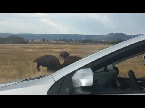 BISON ATTACKS CAR - Yellowstone