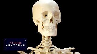 Тайны анатомии. Скелет cмотреть видео онлайн бесплатно в высоком качестве - HDVIDEO