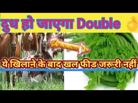 Moringa sahajan सुहंजना मुनगा highest calcium source for cattles Dudh badhane ke liye hara chara