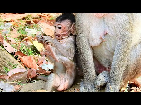 Have Milk Not Enough Make Small Baby Monkey So Skinny, New Baby Monkey Try Eat Food Herself