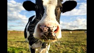 Как мычит корова