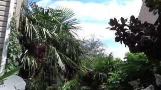 Virginia Palm Society (VPS) Panama Johns Sterling VA Hardy Palms and Eucalyptus  Aug 22 2013