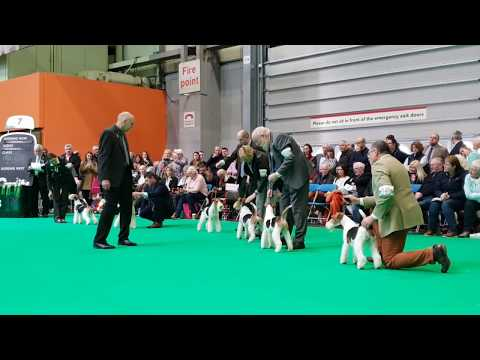 Crufts 2019, Wire Fox Terrier - Open Dogs (cut + placements)