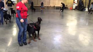 Dobermans For Sale Obedience Protection Trained Guard Dogs Home Security