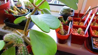 How to Care for and Grow The Sweetheart Plant - Hoya Kerrii