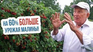 Как увеличить урожай малины | Двухцикличная технология выращивания