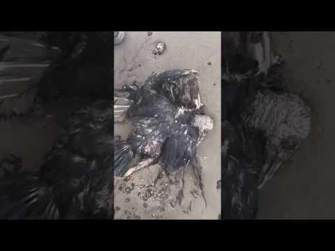 FFOS: Dead marine species at Point Sybil, La Brea, Trinidad