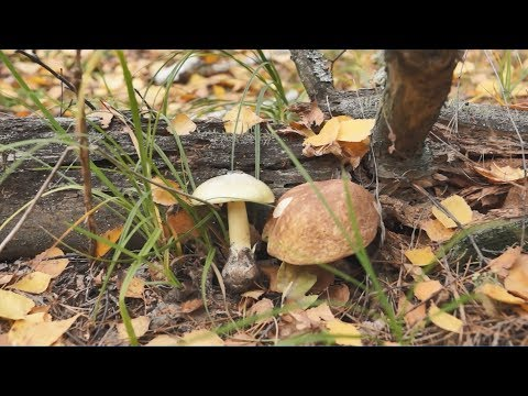 ТОП 5 мифов о ядовитости Бледной поганки (Amanita phalloides)