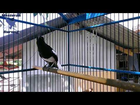 kacer-gacor-full-isian-durasi-panjang-|-masteran-burung