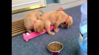 Playful Golden Retriever Pups