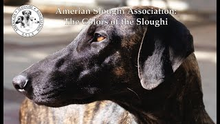 American Sloughi Association:  The Colors of the Sloughi